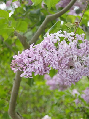 Lilacs in Bloom.