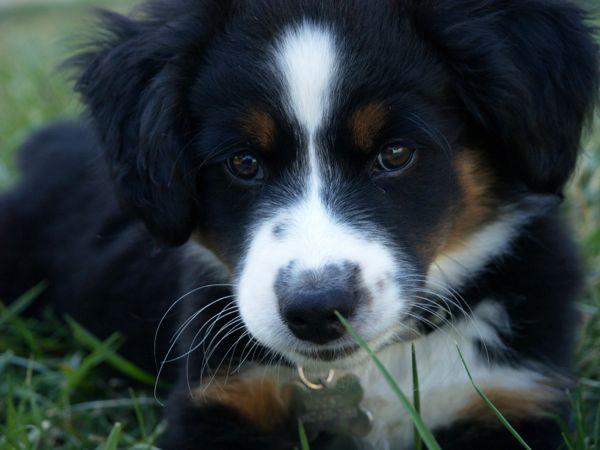 Mini Australian Shepard Puppy Dog
