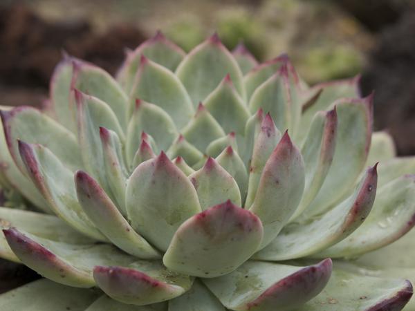 Succulent : the Magic Onions.com