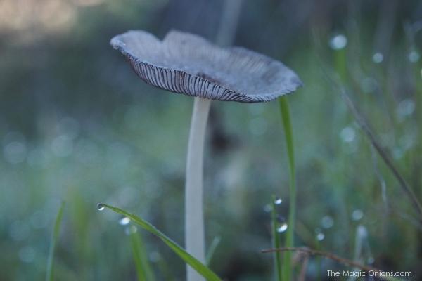 Magic Mushroom : www.theMagicOnions.com