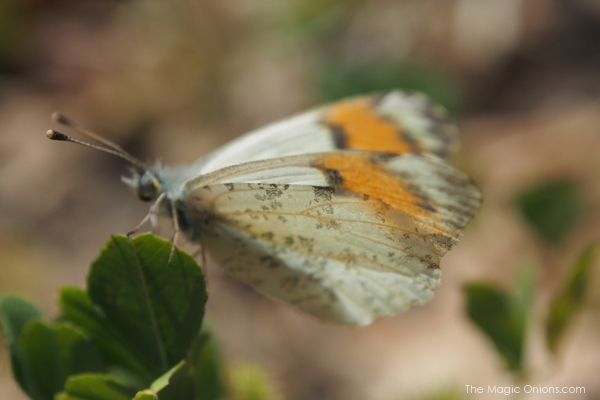 photo of a Southern California Butterfly