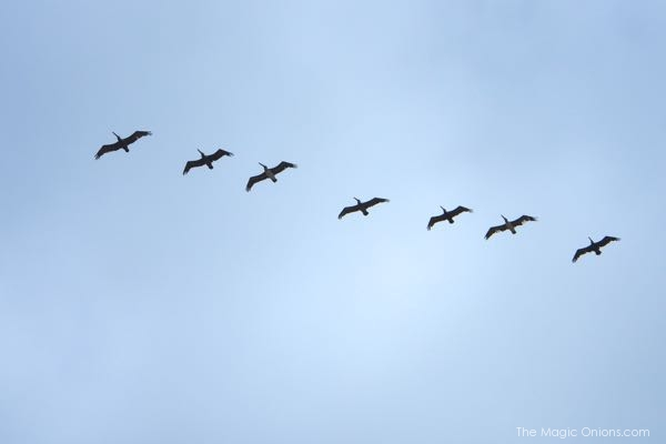 Pelicans flying in formation photo