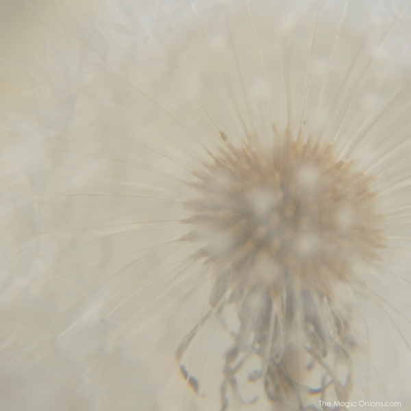 Photo of a dandelion