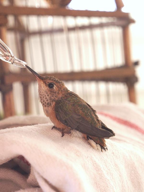 Feeding a Baby Hummingbird Photo The Magic Onions  www.theMagicOnions.com 201