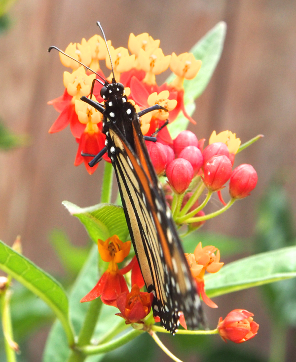 Photo of a Monarch Butterfly The Magic Onions : www.theMagicOnions.com 31