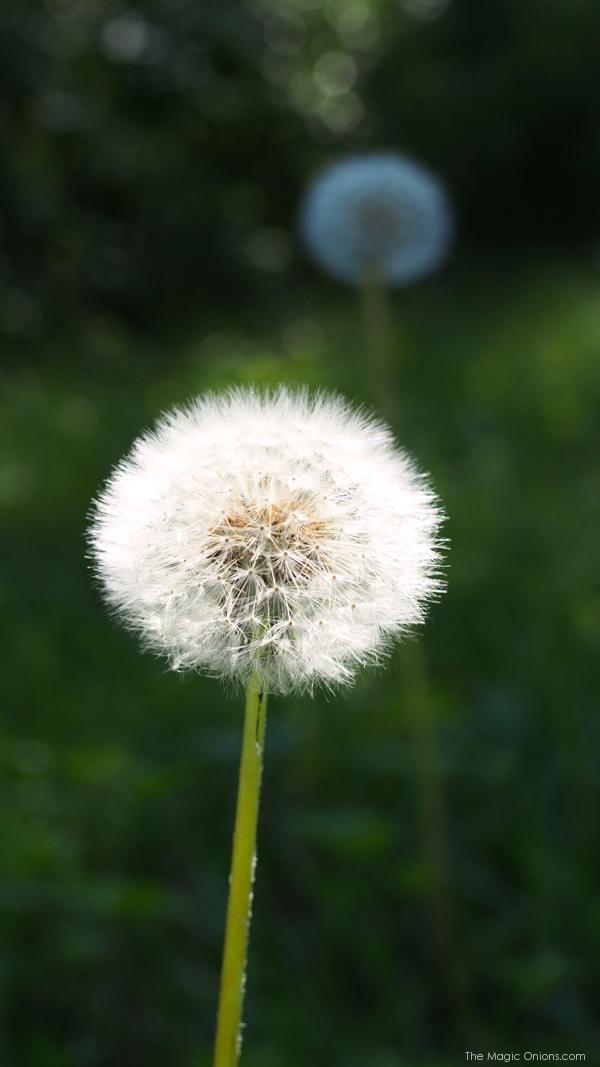 Dandelion - www.theMagicOnions.com