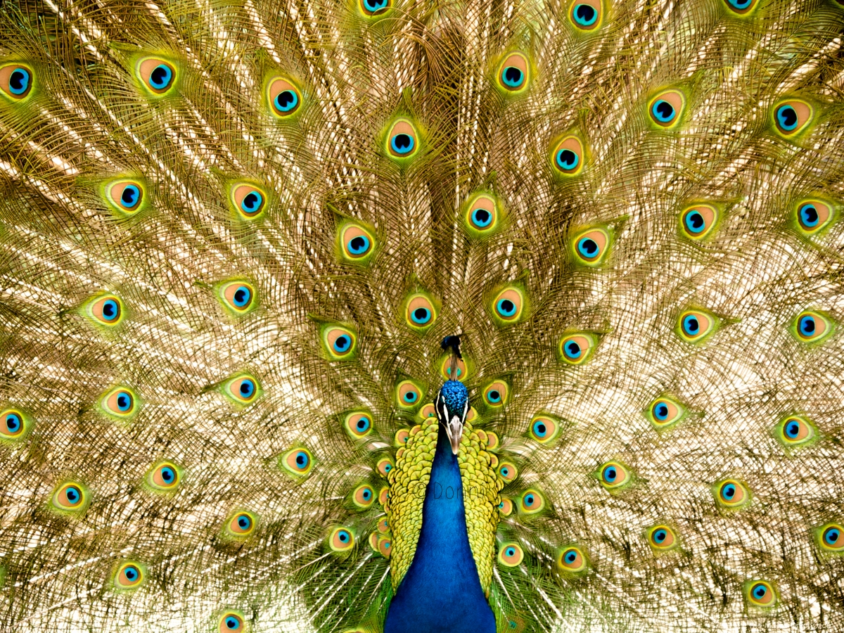 Beautiful Peacock Photo :: The Magic Onions :: www.theMagicOnions.com
