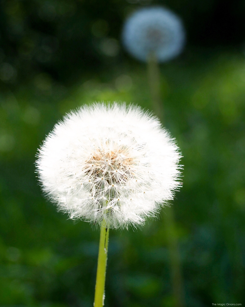 Dandelion photo from The Magic Onions Blog