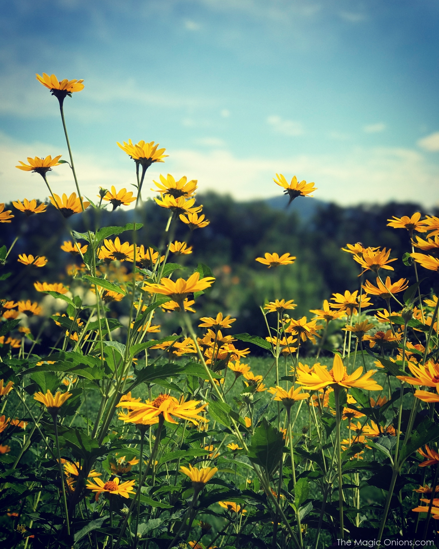 Photo of daisies